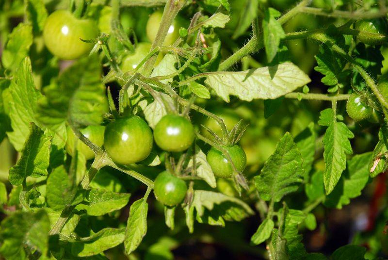 Garden tomato bunch