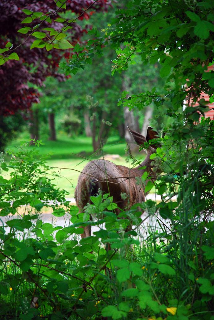 Deer in yard back