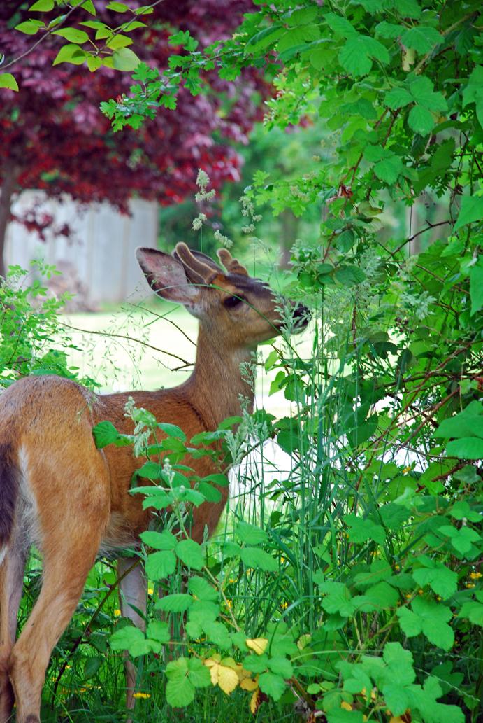 Deer in yard front