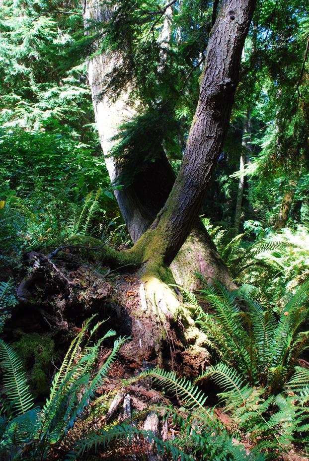 Crossed trees bloedel