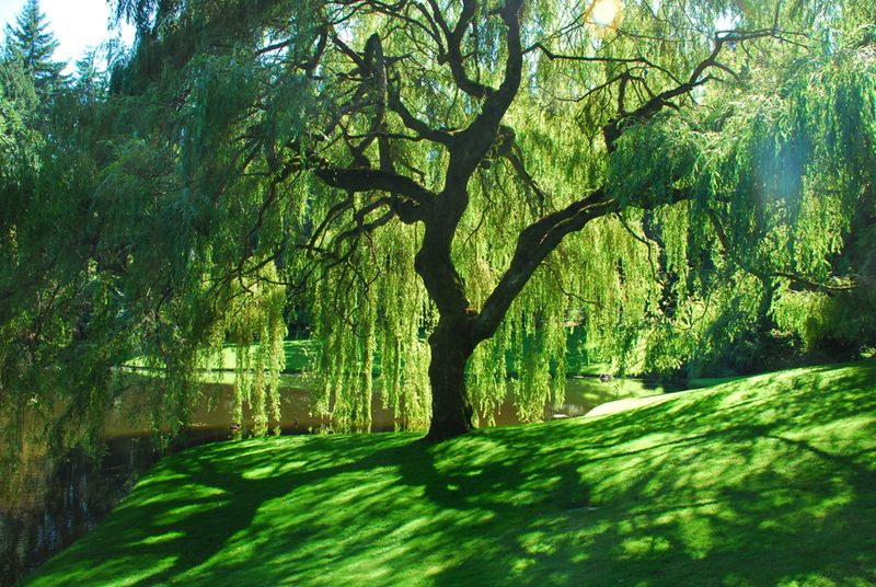 Willow at bloedel